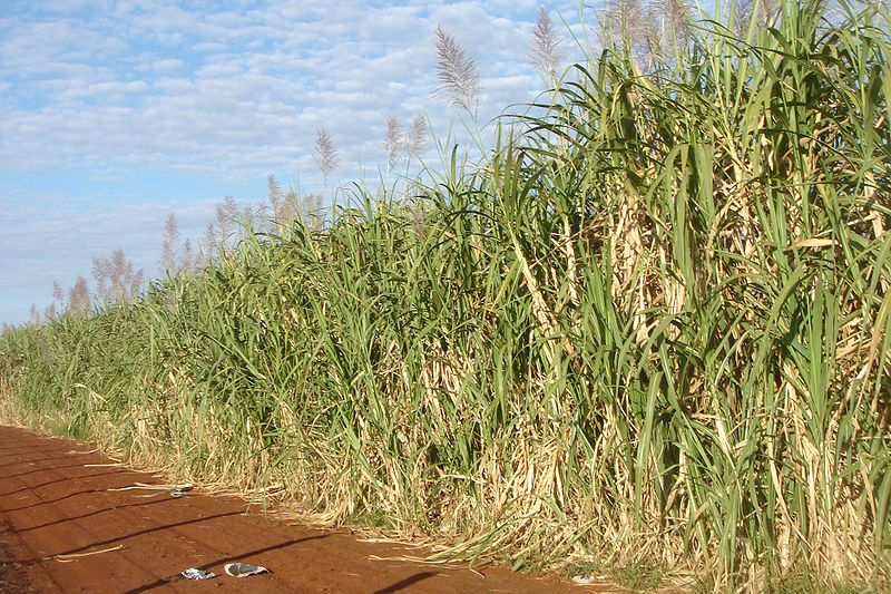 <p><strong>Fig. 1.6. </strong>(<strong><strong>C</strong></strong>) Sugar cane making sugar is an example of a chemical change.</p>