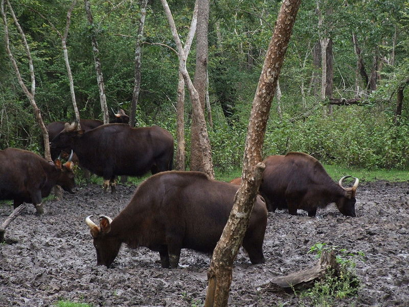 <p><strong>SF Fig. 2.3.&nbsp;</strong>(<strong>B</strong>) A wild herd of Indian bison, or gaur, at a natural salt lick, Rajiv Gandhi National Park, India.</p>
