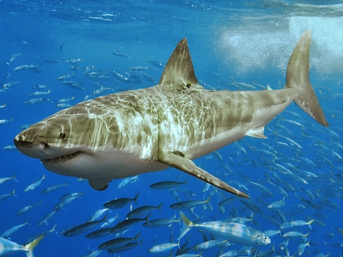 <p><b>Fig. 4.13.</b> (<strong>B</strong>) a great white shark</p>