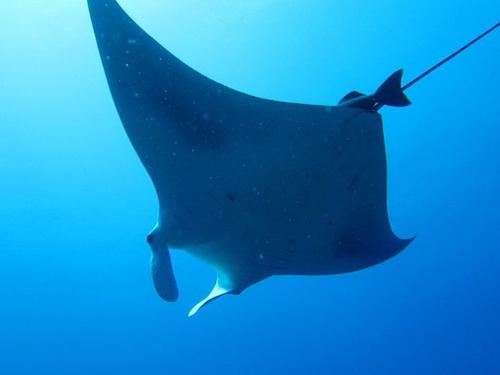 <p><strong>&nbsp;Fig. 4.13.</strong> (<strong>E</strong>) a manta ray</p>
