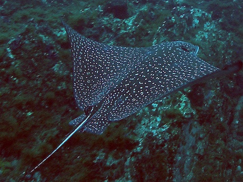 <p><b>Fig. 4.13.</b> (<strong>D</strong>) a spotted eagle ray</p>
