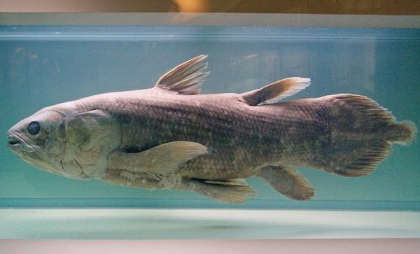<p><b>Fig. 4.14.&nbsp;</b>(<strong>B</strong>) A lobe-finned coelocanth</p>
