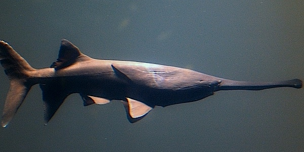 <p><strong>Fig. 4.15.&nbsp;</strong>(<strong>C</strong>)&nbsp;A primitive ray-finned, electro-detecting paddlefish</p>