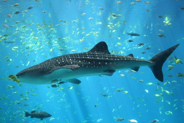 <p><strong>Fig. 4.5.</strong> (<strong>B</strong>) the 12 m whale shark (<em>Rhincodon typus</em>)</p>