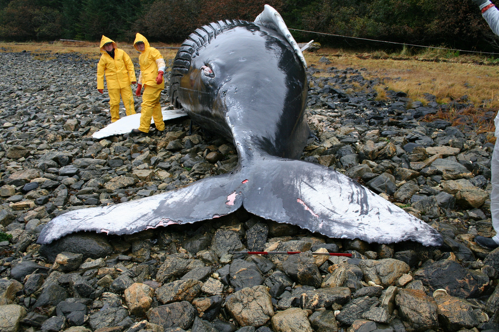 <p><strong>Fig. 2.14.</strong> Veterinarians in Alaska examine the body of a humpback whale calf to determine what caused its stranding.</p>