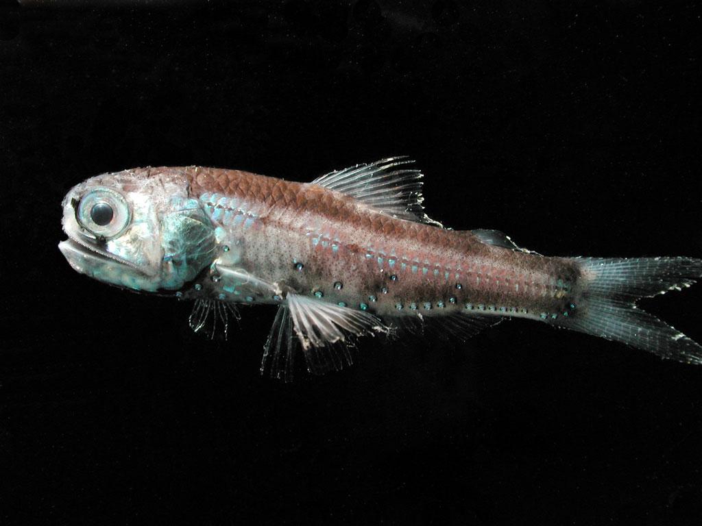 <p><strong>SF Fig. 4.10.</strong> A deep sea lanternfish (Diaphus theta) with photophores</p>