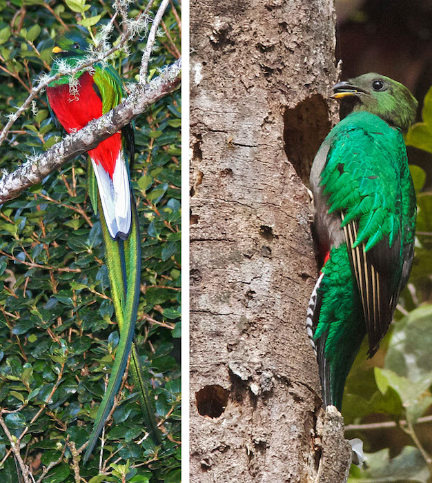 <p><strong>SF Fig. 1.5.</strong> (<strong>B</strong>) Resplendent quetzal (<em>Pharomachrus mocinno</em>) female (left) and male (with yellow beak on right) are found in the trees of Costa Rica.</p>
