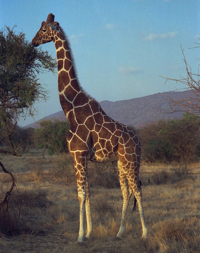 <p><strong>SF Fig. 1.6.</strong>&nbsp;(<strong>B</strong>) Lamarck proposed that individuals could acquire traits through will, such as a giraffe stretching its neck over time.</p>