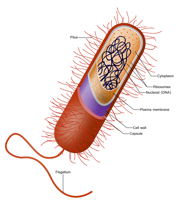 <p><strong>SF Fig. 2.1.</strong> (<strong>A</strong>) Prokaryote bacterium with a cell wall made of peptidoglycan</p>
