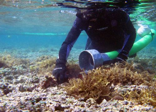 <p><strong>SF Fig. 2.6.</strong>&nbsp;(<strong>B</strong>) A diver gently removes alien algae from the reef and uses the Super Sucker vacuum to suck algae from the water.</p>