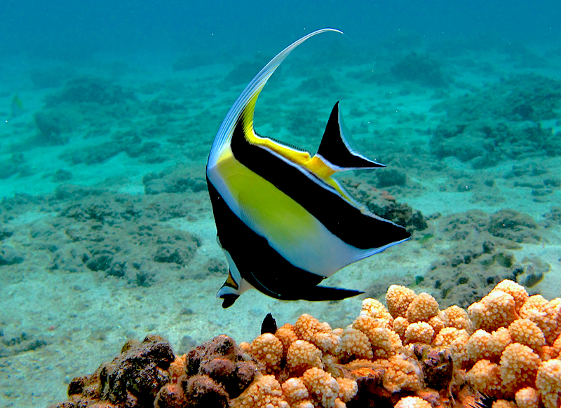 <p><strong>SF Fig. 3.5.</strong> (<strong>A</strong>) Moorish idol fish (<em>Zanclus cornutus</em>)</p>