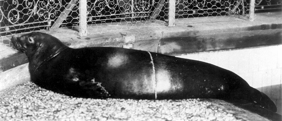 <p><strong>SF Fig. 6.1.</strong>&nbsp; (<strong>A</strong>) Caribbean monk seal (<em>Neomonachus tropicalis</em>)</p>