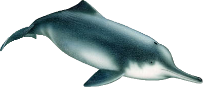 <p><strong>SF Fig. 6.1.</strong> (<strong>B</strong>) Baiji or Yangtze River dolphin (<em>Lipotes vexillifer</em>)</p>