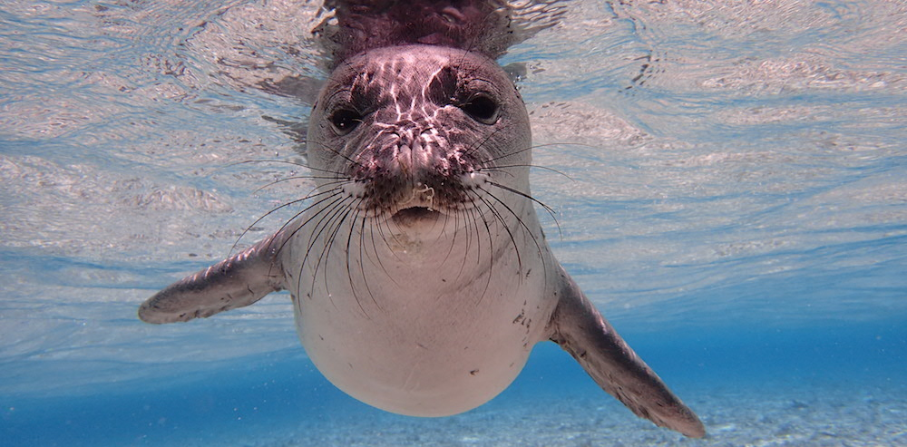 <p><strong>SF Fig. 6.2. </strong>(<strong>A</strong>) Hawaiian monk seal (<em>Neomonachus schauinslandi</em>) juvenile, Pearl and Hermes Atoll or Holoikauaua, Papahānaumokuākea Marine National Monument, Hawai'i</p>