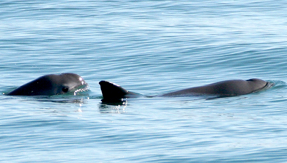 <p><strong>SF Fig. 6.2.</strong>&nbsp;(<strong>C</strong>) Two vaquita porpoises (<em>Phocoena sinus</em>), Gulf of California, Pacific ocean basin</p>