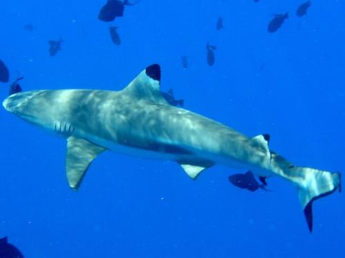 <p><b>Fig. 4.13.</b> (<strong>C</strong>) a reef shark</p>