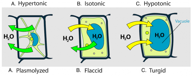 <p><strong>Fig. 2.13.</strong> Diagram showing plant cell walls (black line), cell membranes (green lines), and relative amount of water (blue ovals) inside the cell. The arrows show the direction of water moving in (yellow) and out (green) of a plant cell placed in these environmental conditions: (<strong>A</strong>) hypertonic, (<strong>B</strong>) isotonic, and (<strong>C</strong>) hypotonic solutions. The movement of water into or out of these plant cells cause (<strong>A</strong>) plasmolyzed (shrunken), (<strong>B</strong>) flaccid (wilted), and (<strong>C</strong>) turgid (firm) cell conditions.</p><br />