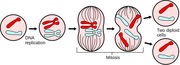 <p><strong>Fig. 2.46.</strong> Major events in mitosis</p><br />