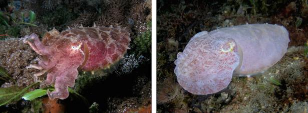 <p><strong>Fig. 3.71.</strong> (<strong>A</strong>) A reef cuttlefish (<em>Sepia latimanus</em>) changing from darker pink coloration to light pink-white coloration</p><br />