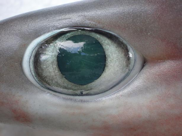 <p><strong>Fig. 4.29</strong> Eye of a bigeyed sixgill shark (Hexanchus nakamurai)</p>