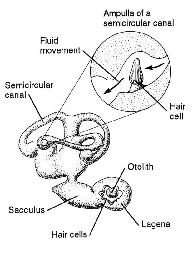 <p><strong>Fig 4.35.</strong> Inner ear of a fish</p><br />
