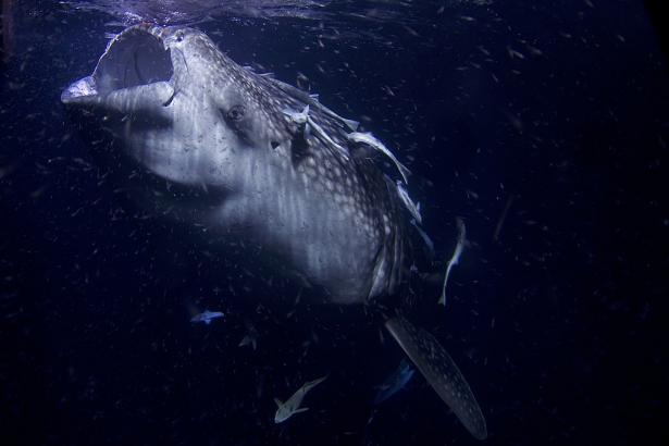 <p><strong>Fig. 4.39.</strong> Some fishes feed by filtering out through their buccal pump such as this whale shark, which feeds on plankton</p><br />