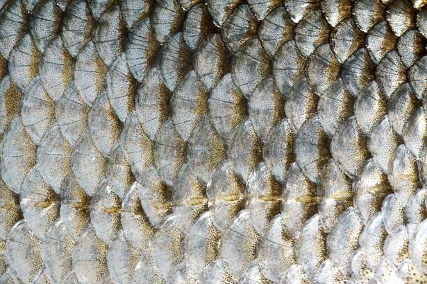 <p><strong>Fig. 4.41.</strong> The overlapping scales of a roach fish (Rutilus rutilus)</p><br />