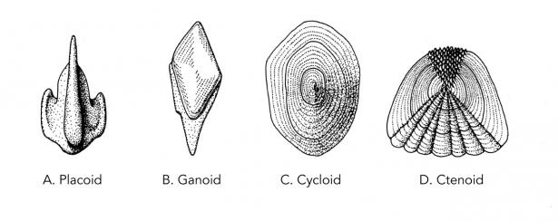 <p><strong>Fig. 4.42.</strong> Four types of fish scales A) Placoid, B) Ganoid, C) Cycloid, and D) Ctenoid</p><br />