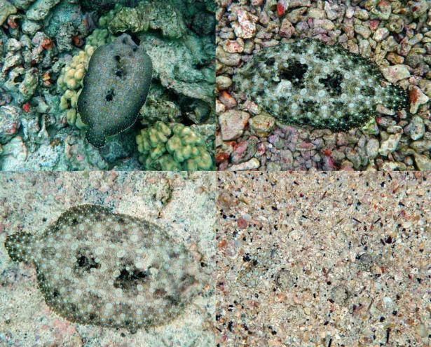 <p><strong>Fig. 4.47.</strong> Examples of color-changing fish. The peacock flounder (Bothus mancus or pāki'i in Hawaiian) is a bottom-dwelling flatfish common in the tropical Pacific. It can rapidly change skin colors.</p><br />