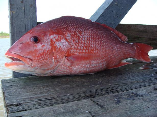 <p><strong>Fig. 4.73.</strong> Red Snapper (Lutjanus campechanus) caught in the Gulf of Mexico, about 20 miles south of Port Fourchon, LA</p><br />