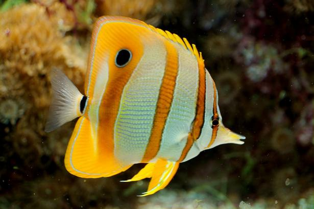 <p><strong>Fig. 4.76. </strong>Copperband butterflyfish (Chelmon rostratus), with a large eyespot, tall and thin body, and maneuverable fins</p><br />