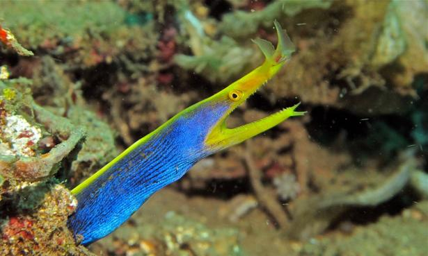 <p><strong>Fig. 4.78.</strong> A Ribbon Moray (Rhinomuraena quaesita) inside a coral crevice in Indonesia</p><br />