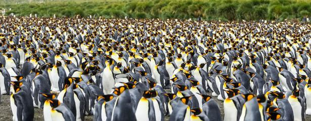 <p><strong>Fig. 5.53.</strong> Tens of thousands of king penguins (<em>Aptenodytes patagonicus</em>) nest together in a large rookery, Gold Harbour, South Georgia, southern Atlantic ocean basin</p><br />