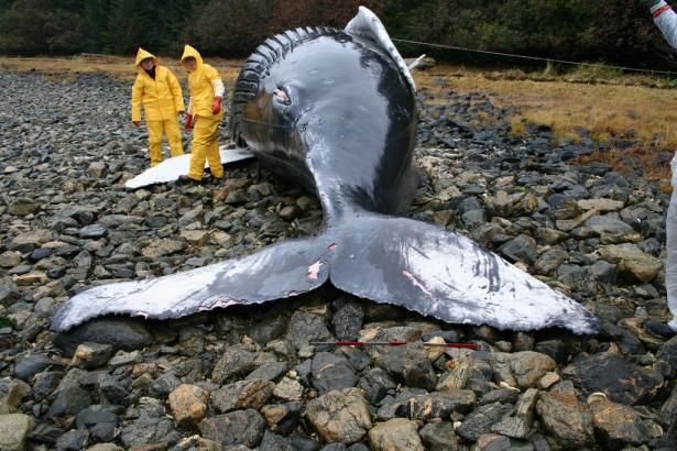 <p><strong>Fig. 2.14.</strong> Veterinarians in Alaska examine the body of a humpback whale calf to determine what caused its stranding.</p><br />