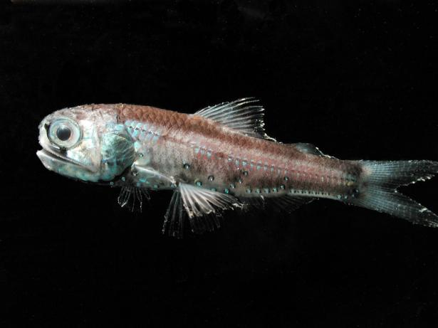 <p><strong>SF Fig. 4.10.</strong> A deep sea lanternfish (Diaphus theta) with photophores</p><br />