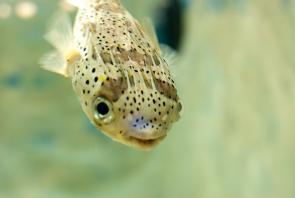 <p><strong>Fig. 4.77. (A) </strong>An uninflated porcupine fish</p><br />