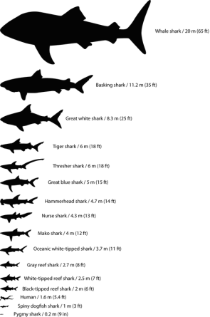 <p><strong>Fig. 1.13.</strong> Maximum sizes of various species of sharks scaled to relative size</p>