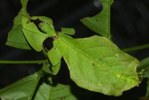 <p><strong>Fig. 1.2.</strong> (<strong>A</strong>) Giant leaf insect (<em>Phyllium giganteum</em>) rests on a green leaf in Malaysia.</p>