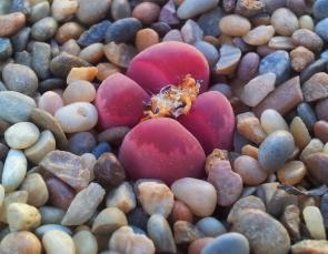 """<p><strong>Fig. 1.2.</strong>(<strong>C</strong>) A """"living stone"""" or pebble plant (<em>Lithops optica</em>) is seen among pebbles.</p><br />"""