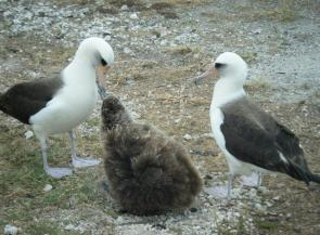 <p><strong>Fig. 1.3.</strong> (<strong>C</strong>) Laysan albatross parents feed their offspring at Midway Atoll.</p><br />
