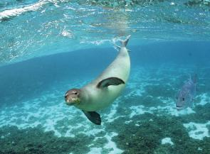 <p><strong>Fig. 1.3.</strong> (<strong>D</strong>) A Hawaiian monk seal interacts with the marine environment.</p><br />