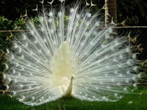 <p><strong>Fig. 1.7.</strong> A male Indian peacock (<em>Pavo cristatus</em>) with white leucistic color mutation displays his full plumage. Genetic mutations give rise to new genotypes. New genotypes may result in new phenotypes or traits such as body size or color patterning.</p><br />