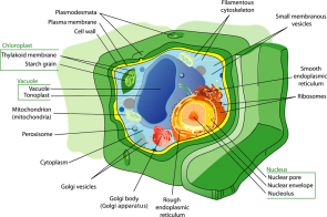 <p><strong>Fig. 2.14.</strong> Diagram of a eukaryotic plant cell</p>