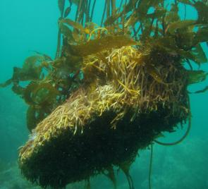 <p><strong>Fig. 2.23.</strong> (<strong>C</strong>) Giant kelp holdfast</p><br />
