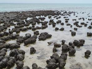 <p><strong>Fig. 2.26.</strong> Stromatolites at Hamelin Pool Marine Nature Reserve, Shark Bay, Australia. Stromatolites are formed by Cyanobacteria, one of the oldest living taxonomic groups.</p><br />