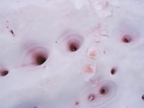 <p><strong>Fig. 2.29.</strong> (<strong>B</strong>) The pink color of <em>C. nivalis</em> is concentrated where the snow is compressed or melted.</p><br />