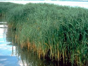 <p><strong>Fig. 2.2.</strong> (<strong>D</strong>)&nbsp;<em>Spartina alterniflora</em>, a coastal salt marsh grass</p><br />