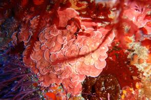 <p><strong>Fig. 2.31.</strong>&nbsp;(<strong>D</strong>) Red crustose coralline algae in Three Kings Island, New Zealand</p><br />