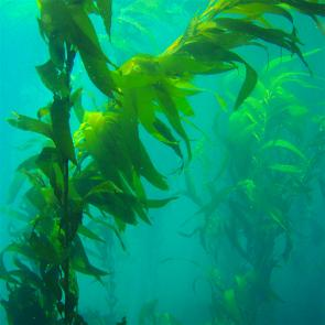 <p><strong>Fig. 2.3.</strong>&nbsp;(<strong>D</strong>) The brown macroalga giant kelp, <em>Macrocystis pyrifera</em>, in a Pacific kelp forest</p><br />