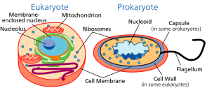 <p><strong>Fig. 2.6.</strong> Comparative cell anatomy of eukaryotes and prokaryotes</p><br />